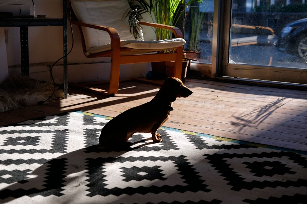 Dachshund on black and white rug enjoying a shaft of sunshine at Social Streets Co-Lab coworking space on Roman Road